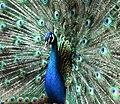 Peacock male (Pavo cristatus).jpg
