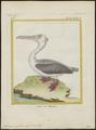 Pelecanus rufescens - 1700-1880 - Print - Iconographia Zoologica - Special Collections University of Amsterdam - UBA01 IZ18000167.tif