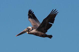 Pelican 4946.jpg