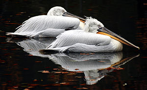 Pelicans - Colchester Zoo.jpg