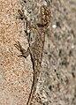 Peninsular Rock Agama (Psammophilus dorsalis) W IMG 2947.jpg