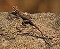 Peninsular Rock Agama (Psammophilus dorsalis) W IMG 7647.jpg