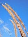 Pennisetum (Pennisetum setaceum).jpg