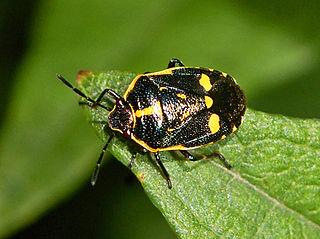 <i>Eurydema oleracea</i> species of insect