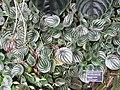 Peperomia argyreia - JBM.jpg