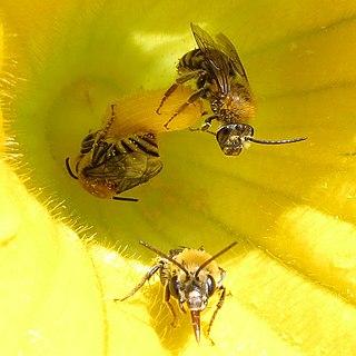 <i>Peponapis pruinosa</i> Species of bee