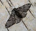 Peppered Moth. Biston betularia. f. insularia. - Flickr - gailhampshire.jpg