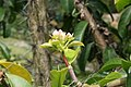 Pereskia grandifolia 41zz.jpg