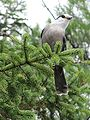 Perisoreus canadensis Algonquin.jpg