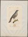 Perisoreus infaustus - 1842-1848 - Print - Iconographia Zoologica - Special Collections University of Amsterdam - UBA01 IZ15700025.tif