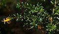 Persoonia terminalis ssp terminalis, Australian National Botanic Garden, Canberra, ACT, 04-02-12 (6805661222).jpg
