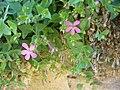 Petrocoptis grandiflora.001 - Serra de Enciña de Lastra.JPG
