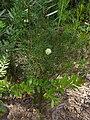 Petrophile pulchella 1.jpg