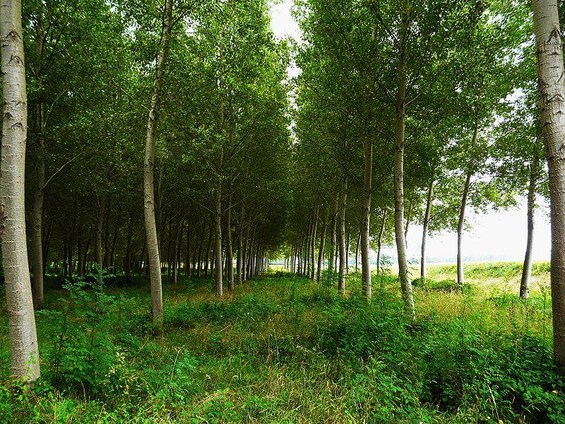Le PEUPLIER : arbre du Peuple dans TAO des arbres