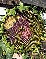 Pflanze-Sonnenblume1-Asio.JPG