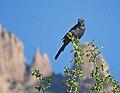 Phainopepla nitens -Tucson -Arizona-8.jpg