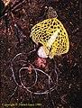 Phallus luteus ウスキキヌガサタケ DG 1989 (s.n. indusiatus fo.) 2.jpg