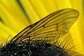 Phaonia atriceps wing detail.jpg