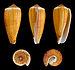 Phasmoconus radiatus 01.JPG