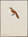 Philydor rufus - 1820-1860 - Print - Iconographia Zoologica - Special Collections University of Amsterdam - UBA01 IZ19200187.tif