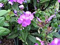 Phlox paniculata Eva Cullum 0zz.jpg