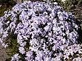 Phlox subulata 'Emerald Cushion blue' 2.JPG