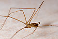 Pholcidae sp.jpg