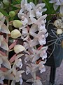 Pholidota chinensis - Flickr 003.jpg
