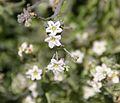 Pholistoma membranaceum (white fiestaflower).jpg