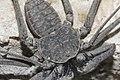 Phrynus whitei 5475670.jpg