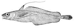 Phycis chesteri