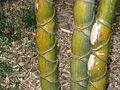 Phyllostachys heterocycla Anduze.jpg