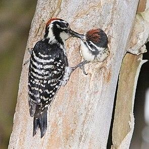 Nuttallspecht (Picoides nuttallii) (♂) füttert fast flüggen Nestling.