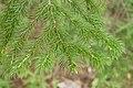 Picea jezoensis 02.jpg