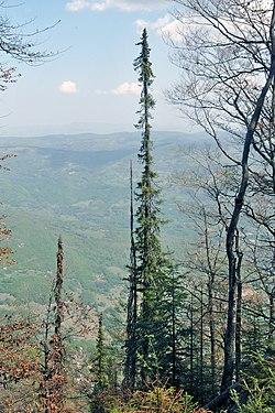 Picea omorika, Tara НП03 04.jpg