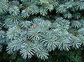 Picea pungens Globosa1.jpg