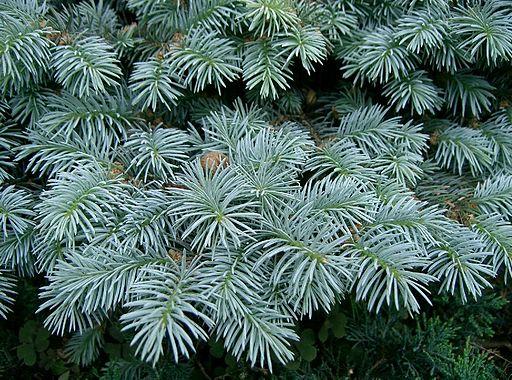 Picea pungens Globosa1
