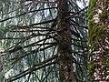 Picea smithiana 004.jpg
