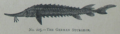 Picture Natural History - No 225 - The German Sturgeon.png