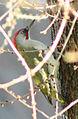 Picus viridis sharpei 059.jpg