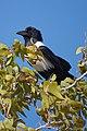 Pied Crow in Tree 2019-07-26.jpg