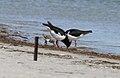 Pied Oystercatcher (Haematopus longirostris) (31228613371).jpg
