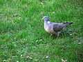 Pigeon in wet Grass (5635318516).jpg