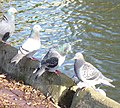 Pigeons - geograph.org.uk - 1055421.jpg
