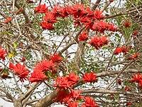 PikiWiki Israel 318 Erythrina corallodendrum תפרחת האלמוגן