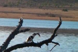 File:Pilanesberg-Kingfisher.-001.ogv