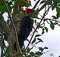 Pileated Woodpecker side view.jpg