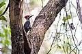 Pileated woodpecker (37407573082).jpg