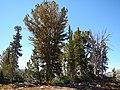 Pinus albicaulis (28590215824).jpg