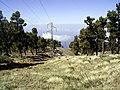 Pinus canariensis (Roque de Los Muchachos) 06 ies.jpg